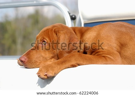 A pure breed Vizsla laying down in a boat - stock photo