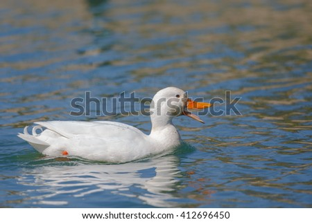 A pure white Aylesbury Duck with bright orange bill, swimming in blue water with reflections - stock photo