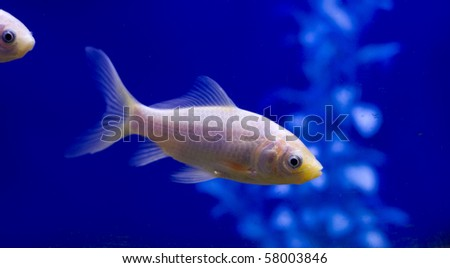 A pure white goldfish in a tank against a blue background. - stock photo