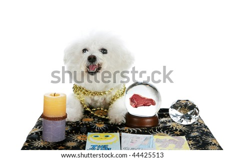 """a purebred Bichon Frise as a """"Pet Psychic"""" or """"Psychic Pet"""" or """"fortune teller"""" sees a Steak Dinner in your future isolated on white with room for your text - stock photo"""