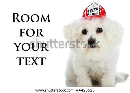"a purebred Bichon Frise wears a ""Firemans Hat"" isolated on white with room for your text"