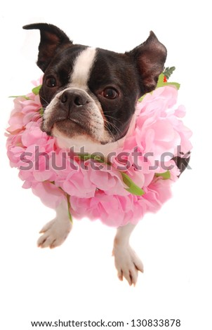 A purebred Boston Terrier wearing a pink Lei. Hawaiian vacation and party theme - stock photo