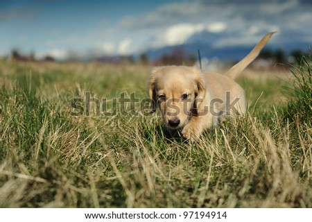 A purebred Dachshund puppy walks towards the camera through large clumps of grass on a late winter day. Focus is on the puppy's face with the background and foreground out of focus. - stock photo