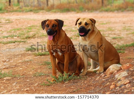 A purebred Rhodesian Ridgeback male dog and a thoroughbred Boerboel female sitting and guarding a farm in South Africa (focus on dogs). - stock photo
