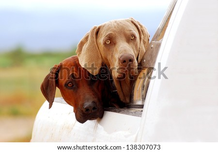 A purebred South African Rhodesian Ridgeback hound and a thoroughbred Weimaraner dog staring from a pick-up with observant facial expression.