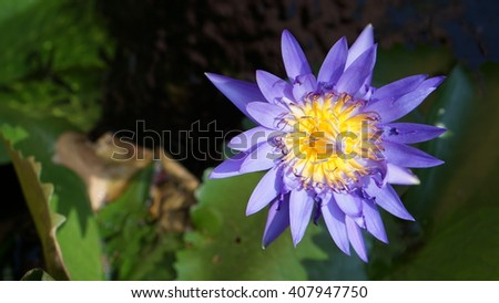 A purple blue lotus with green leaves in the water from top view - stock photo