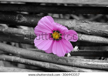 A purple flower peeking out of a wooden fence - Selective Coloring