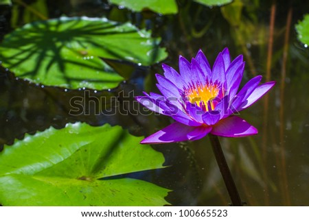 A purple lily and lily pads floating in a pond.