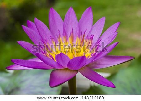 A purple Lotus flower - stock photo