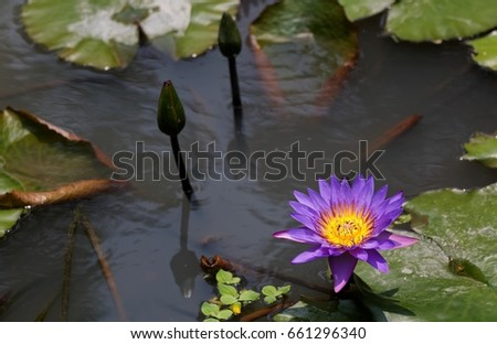 Beautiful lotus flowers blooming among leaves stock photo 660054919 a purple lotus flower blooming among leaves in a pond of muddy water lovely purple mightylinksfo
