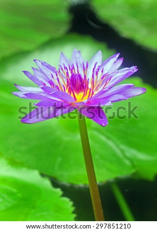 A purple water lily against a vivid green lily pad - stock photo