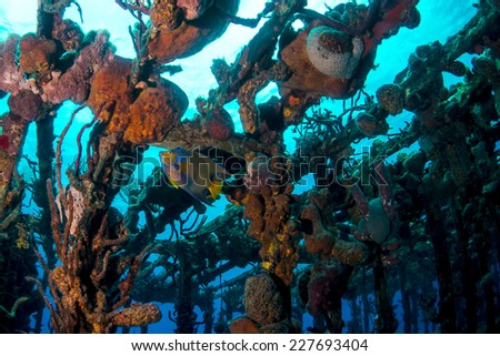 A queen angel fish swimming around the sponges on the Willaurie wreck  - stock photo