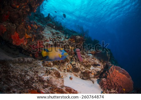 A queen angel fish swimming over the reef - stock photo