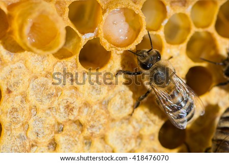 A queen bee cup with royal jelly in the wax comb of the honey bee (Apis mellifera) - stock photo