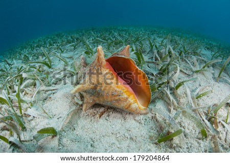 A Queen conch (Stromus gigas) lies on a shallow seagrass bed in the Caribbean Sea. This species is often collected for it edible meat throughout the region. - stock photo