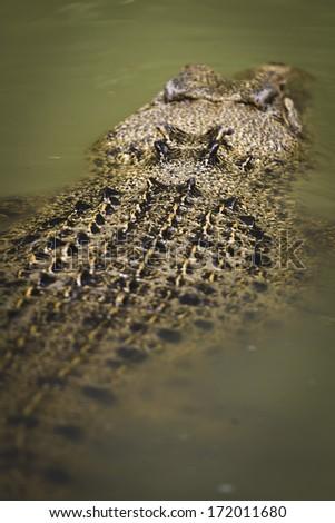 A quiet saltwater crocodile in Kakadu National Park, Australia. - stock photo