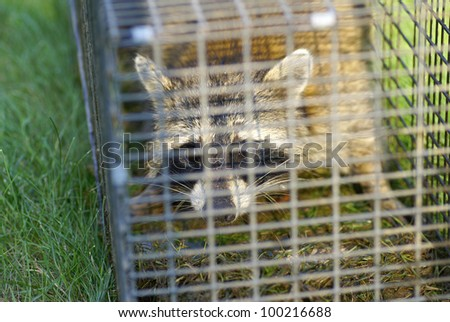 A raccoon in a trap looking directly at the viewer