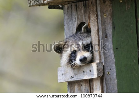 A  raccoon is sitting in a den in  tree and looking. - stock photo