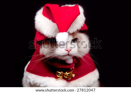 A ragdoll kitten with santa hat and suit on a black background - stock photo