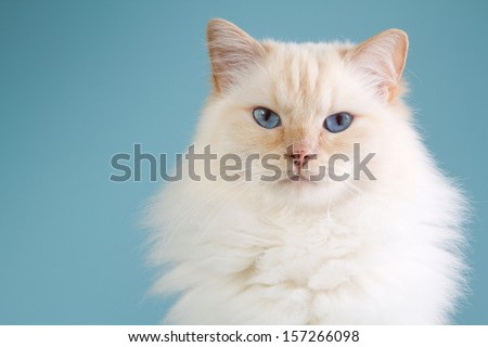 A ragdoll portrait with a blue background