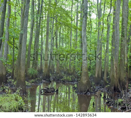 A rainy and misty day among the decay, cypress trees, knees, and swamp of Congaree National Park in South Carolina. - stock photo