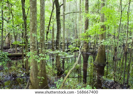 A rainy and misty day in the cypress forest and swamp of Congaree National Park in South Carolina. - stock photo