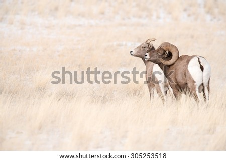 A ram and a ewe big horn sheep standing near each other facing to the left of the frame - stock photo