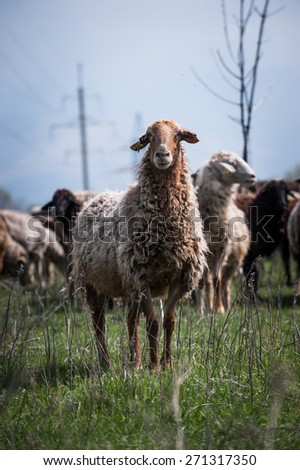 A ram standing against a flock of sheep - stock photo