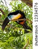 A Ramphastos Vitellinus (also known as channel bill toucan) on a tree - stock photo