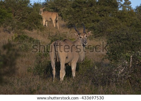 A rare and Shy Eland Antelope turns to look at the camera briefly