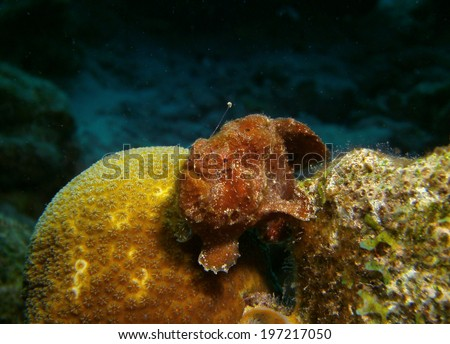 A rare, brown Long lure Frog fish on coral on reef in Bonaire, Netherlands Antilles - stock photo