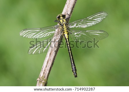 A rare Club-tailed Dragonfly (Gomphus vulgatissimus) perched on a plant.