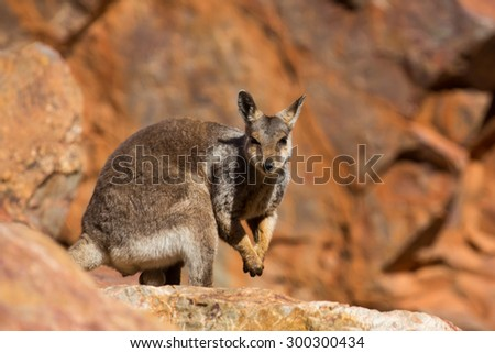 A rare sighting of a rock wallaby amongst rocks in a cliff face at Ormiston Gorge in Northern Territory, Australia - stock photo