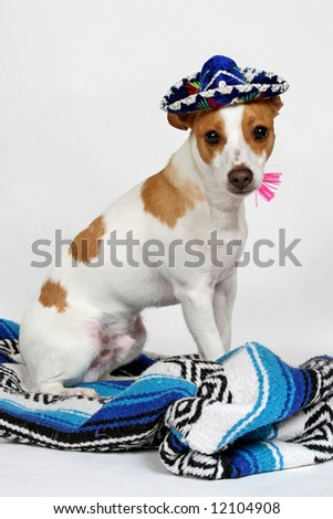 A rat terrier dressed up with a tiny mexican sombrero and blanket posing for the camera. - stock photo