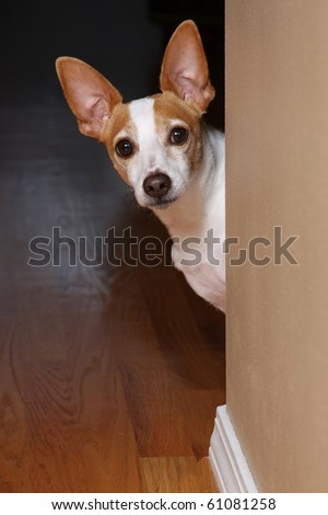 A rat terrier peeking around a corner. - stock photo