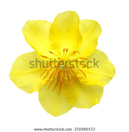 A real fresh ochna integerrima  flower for New Lunar Year in Vietnam isolated on white