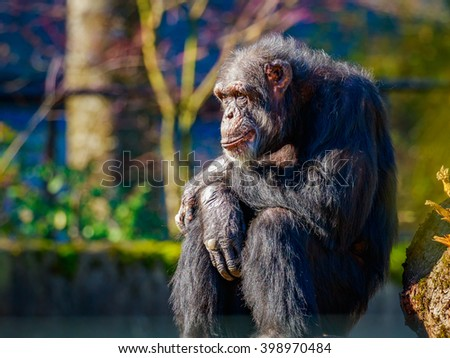 A really old chimpanzee sits under the sun.