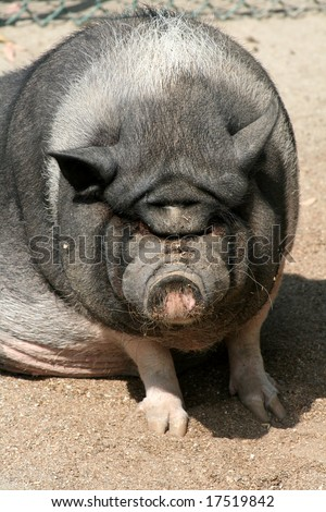 A really ugly, dirty pig with a wrinkly face.