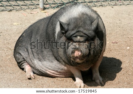 A really ugly pig soaking up some sun. - stock photo