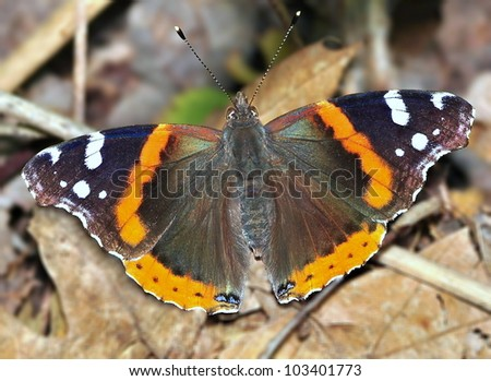 A Red Admiral butterfly (Vanessa atalanta) on the forest floor.