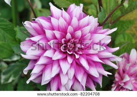 A red and pink gorgeous looking tuberous Dahlia flower.