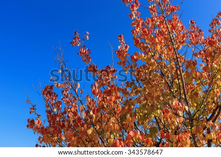 A red and yellow tree(maple, ginkgo) and leaf(leaves) in the blue sky at the Korean royal palace(GyeongBokGung) at the fall(autumn, October, September, November)