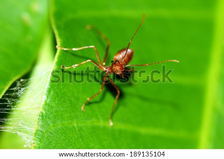 A red ant on leaf