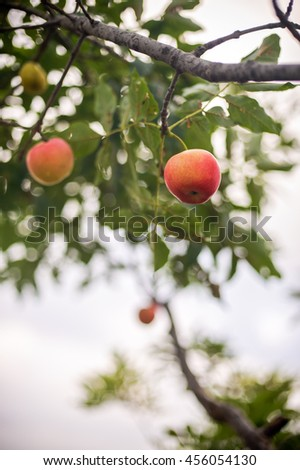 A red apple growing on tree branch
