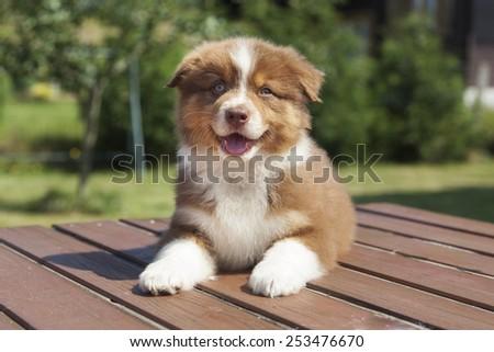 A red Australian Shepherd puppy - stock photo