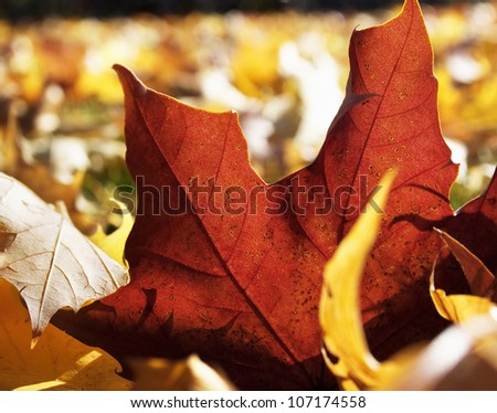 A red autumn leaf, close-up, Sweden.