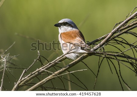 A red-backed shrike is sitting on a branch and looks for fodder