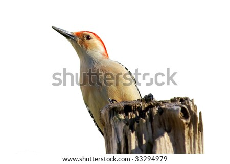 A Red Bellied Woodpecker (Melanerpes carolinus) perched on a dead tree. Isolated - stock photo