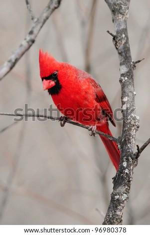 A Red Bird, The Northern Cardinal, Male Eyeing A Morsel Of Food, Cardinalis cardinalis - stock photo