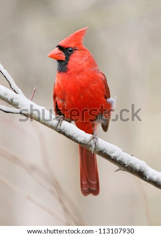 A Red Bird, The Northern Cardinal Male In Winter, Cardinalis cardinalis